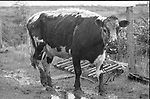 1992 The Blackwater Taverm (owner Teddy O'Neill) Direendraugh, Blackwater, Sneem, County Kerry Ireland 1992:  The Gay Byrne Radio Show, (Ireland's most listened to show) celebrated 'Big Bertha', reaching 48 years of age and appearing in the Guinness Book of Records as the world's oldest cow. In this photograph Big Bertha lets off a roar as the party is broadcast live on air in 1992. Bertha left her 'mark' on the floor during the transmission.<br /> Big Bertha died on New Year's Eve 1993.<br /> Photo: Don MacMonagle <br /> e: info@macmonagle.com