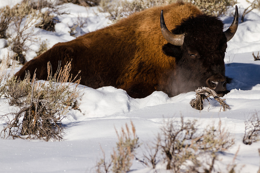 A large bison rests in the snow, its breath condensing in the cold winter air of Yellowstone National Park, Wyoming.