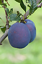 Plum 'Haganta', early September. A modern large blue plum variety from Germany.
