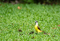 Great Kiskadee, Pitangus sulphuratus, at La Selva Biological Station, Costa Rica