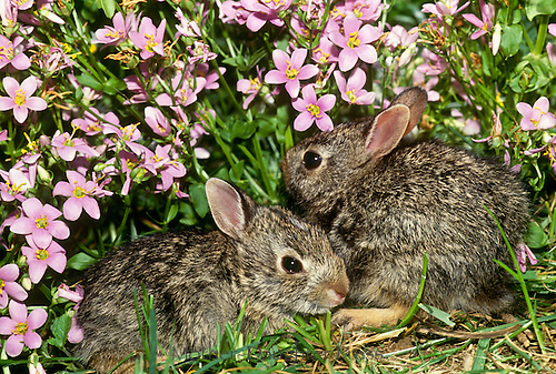 Two baby rabbits cuddle together at the border of the garden hiding in pink verbena flowers