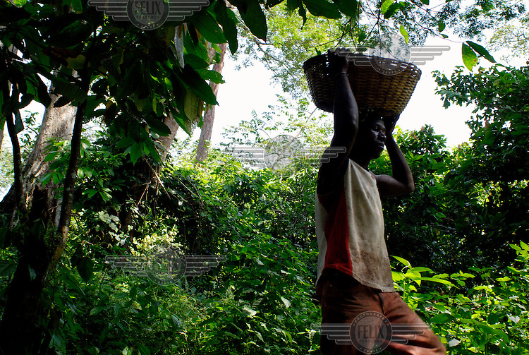 Awa Mohammed, an employee of Kuapa Kokoo, carries a basket of freshly cut cocoa pods through the forest. Kuapa Kokoo is a cocoa farmers' co-operative with 45,000 members spread across the forests of Kumasi. The farmers jointly own a 45 percent stake in the company, which is also a major stakeholder in the London-based fair trade company Divine Chocolate Ltd..