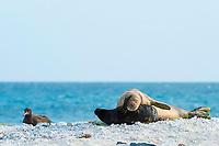 endemic Hawaiian monk seal, Neomonachus schauinslandi ( Critically Endangered Species ), and pup, resting on beach near black-footed albatross, Phoebastria nigripes, East Island, French Frigate Shoals, Papahanaumokuakea Marine National Monument, Northwest Hawaiian Islands, USA ( Central Pacific Ocean )
