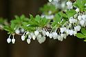 White enkianthus (Enkianthus perulatus syn. Enkianthus japonicus), mid April. Also known as Dodan-tsutsuji. Native to Japan.