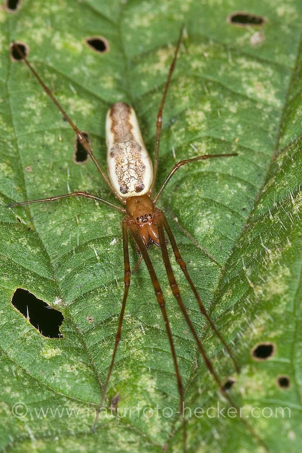 Streckerspinne, Wellenbindige Streckerspinne, Berg-Streckerspinne, Bergstreckerspinne, Tetragnatha montana, Long-jawed spider, long-jawed orb weavers
