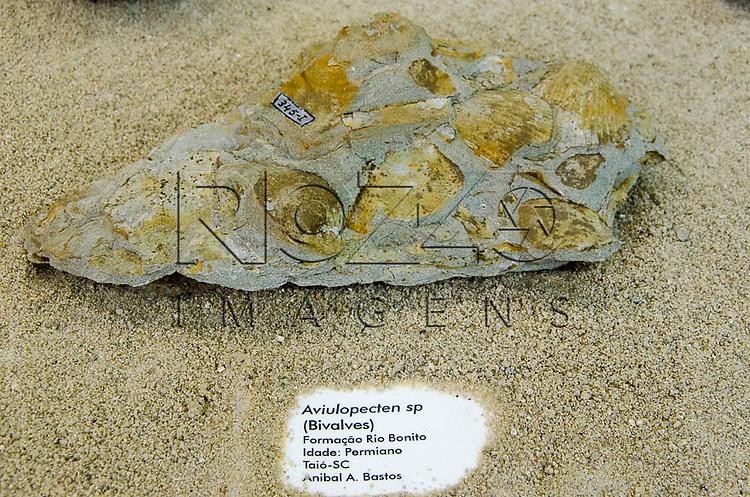 Concha fossilizada, Aviulopecten sp (Bivalves), Formação Rio Bonito, Idade : Permiano, Tió - SC. Museu Geológico Valdemar Lefèvre, São Paulo - SP, 07/2014.