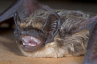 Nordfledermaus, Nord-Fledermaus, Eptesicus nilssonii, Northern bat