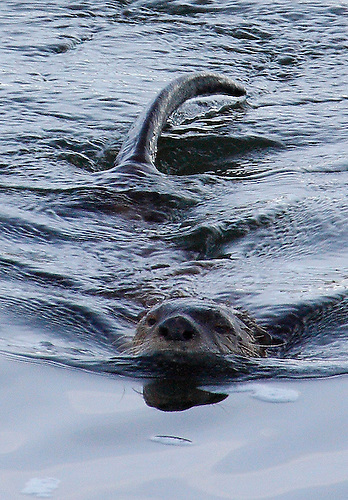 A RIVER OTTER SHOWS ITS HEAD AND TAIL AT YELLOWSTONE RIVER IN YELLOWSTONE NATIONAL PARK,WYOMING