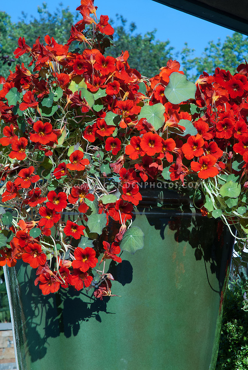 Nasturtiums Tropaeoleum annual flowers in container pot, red annual vine blooms