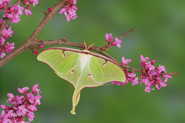 Luna Moth (Actias luna), adult on Eastern Redbud (Cercis canadensis), New Braunfels, Texas, USA