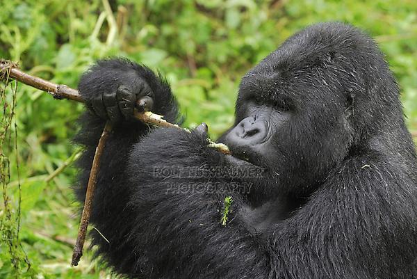 .Mountain Gorilla (Gorilla beringei beringei), Silverback eating, Volcanoes National Park, Rwanda