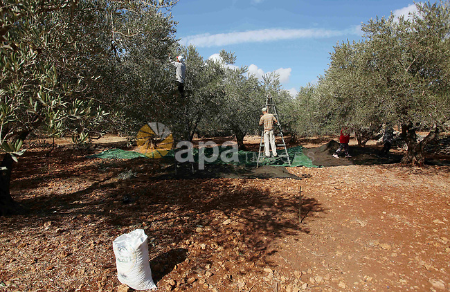 Palestinian farmers pick up olives at farms during a harvest season, near the Israeli settlement of Ariel in the occupied West Bank city of Salfit, after Israeli authorities allowed them to harvest olives just for several days limited, on October 10, 2018. Photo by Shadi Jarar'ah