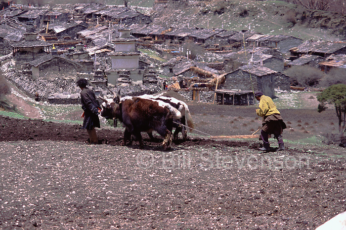 Plowing a field with yaks in Samagoan village in Nepal