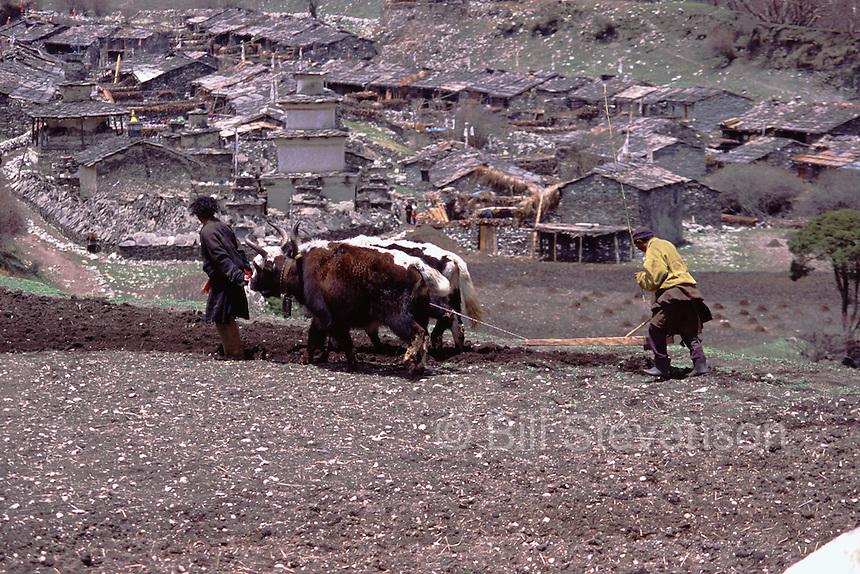 Plowing a field with yaks in Samagoan village in Nepal