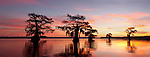 Sunset on the Bayou Lake Fausse Pointe, Atachafalaya Basin, Louisiana. The silhouette of these trees exhibits the environment problem of Louisiana's receding marshes and swampland. These cypress trees used to be a part of the adjacent swampland forest.