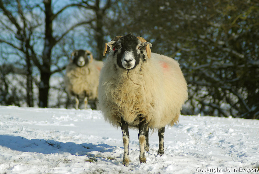 Swaledale ewes in snow near Chipping, Lancashire.
