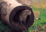 river otter in log