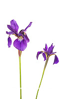30099-00410 Blue Flag Irises (Iris versicolor) (high key white background) Marion Co. IL