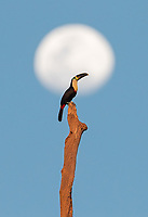 One of our very first wildlife sightings was one of the best: a Channel-billed toucan and the moon!