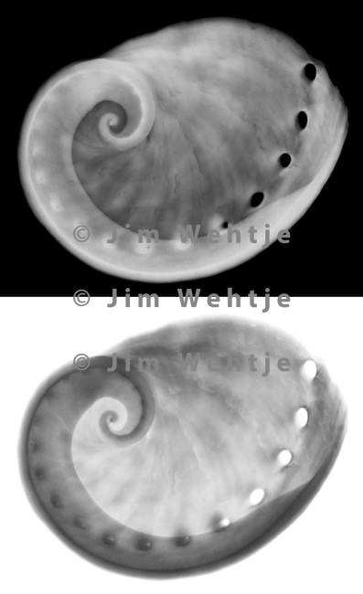 X-ray image of a sheep's ear abalone seashell (grayscale) by Jim Wehtje, specialist in x-ray art and design images.