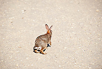 Adult rabbit, NJ, New Jersey, USA