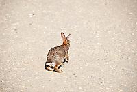 Adult rabbit, NJ, New Jersey, USA