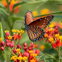 Queen Butterfly on Butterfly Weed