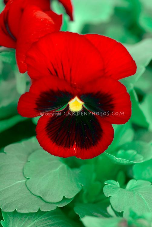 Viola Awkwright's Ruby, red cornuta type pansies pansy flower, red and black bicolor