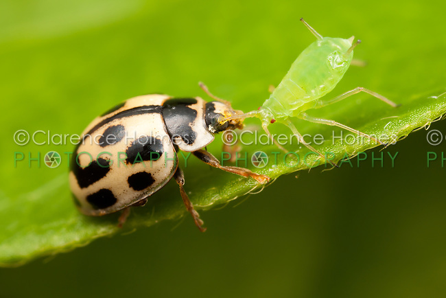 Fourteen-spotted Lady Beetle (Propylea quatuordecimpunctata) - Male with Aphid prey, West Harrison, Westchester County, New York