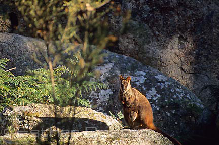 Brush-tailed Rock Wallaby (Petrogale penicillata)with joey, granite outcrop. Southeastern Australia. Threatened species