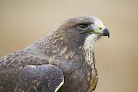 Swainson's Hawk Portrait