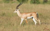 Male Grant's Gazelle (Gazella granti), Samburu