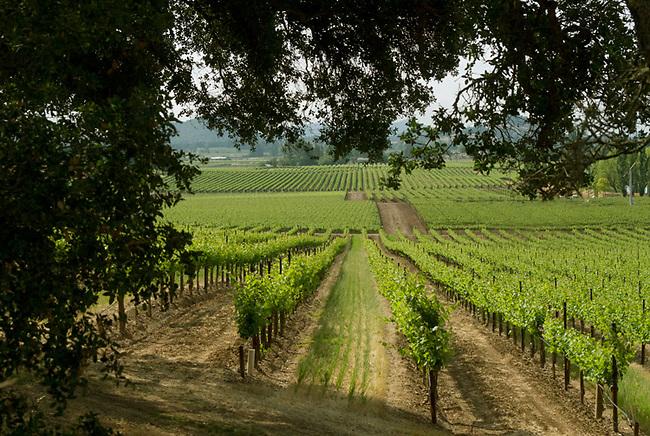 Vineyards along Silverado Trail