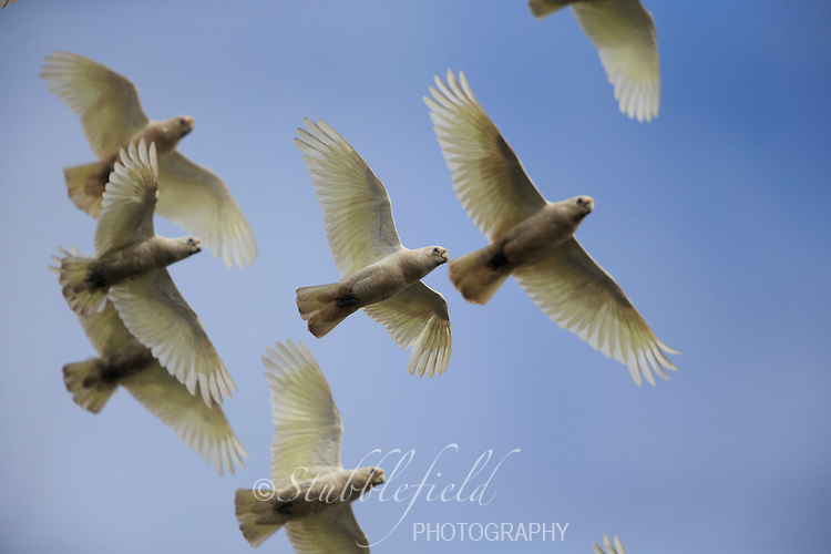 Little Corella (Cacatua sanguinea gymnopis), flock in flight at Rymill Park in Adelaide, South Australia.