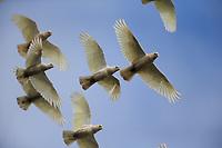 Little Corella (Cacatua sanguinea gymnopis), flock in flight at Rymill Park in Adelaide, South Australia.