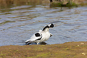 Pied Avocet (Recurvirostra avosetta) Showing affection and bonding, after sexual union, or mating. The Avocet colonised Britain when coastal marshes in East Anglia were flooded to provide a defence against possible invasion by the Germans.