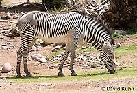 0608-1102  Grevy's Zebra (Imperial Zebra), Grazing on Grass, Equus grevyi  © David Kuhn/Dwight Kuhn Photography