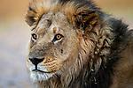 African Lion (Panthera leo) male, Nkasa Rupara National Park, Namibia
