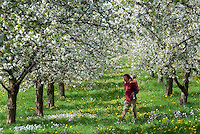 Germany, Baden-Wuerttemberg, Markgraefler Land, Schliengen, Ortsteil Obereggenen: cherry blossom, father carrying his daughter piggyback between blooming cherry trees | Deutschland, Baden-Wuerttemberg, Markgraefler Land, Schliengen, Ortsteil Obereggenen: Kirschbluete, Vater traegt Tochter Huckepack zwischen bluehenden Kirschbaeumen herum