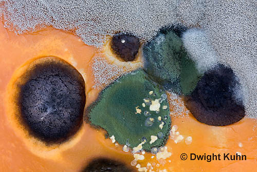DC09-537z  Fungi growing on pumpkin, Trichoderma sp. (green), Didymella bryoniae - Black Rot (black), Penicillium sp. (white)