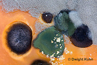 DC09-537z  Fungi growing on pumpkin, Trichoderma sp. (green), Didymella bryoniae - Black Rot (black), Penicillium sp. (white)