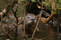 Chilean river otter, southern river otter, huillin, Lontra provocax, Chiloe Island, Chile, hidden in the swamp forest