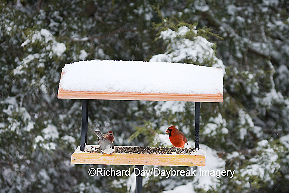 00585-03417 Northern Cardinal male, House Finch & Tufted Titmouse on tray feeder in winter, Marion Co. IL