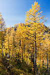 A small dirt path makes way through western subalpine larch in the central cascade range on the Carne Mountain trail in Washington State.