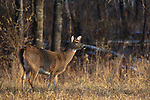 White-tailed doe in a November field.