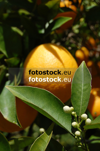 Ripe orange fruit and white blossoms<br /> <br /> Naranja madura y azahares<br /> <br /> Reife Orange und wei&szlig;e Orangenbl&uuml;ten<br /> <br /> 3008 x 2000 px<br /> 150 dpi: 50,94 x 33,87 cm<br /> 300 dpi: 25,47 x 16,93 cm