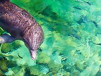 An Atlantic Bottlenose dolphin swims in shallow ocean water at the Hilton Waikoloa Village, Big Island.
