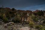 Mountain Lion (Puma concolor) in dry puna, Abra Granada, Andes, northwestern Argentina