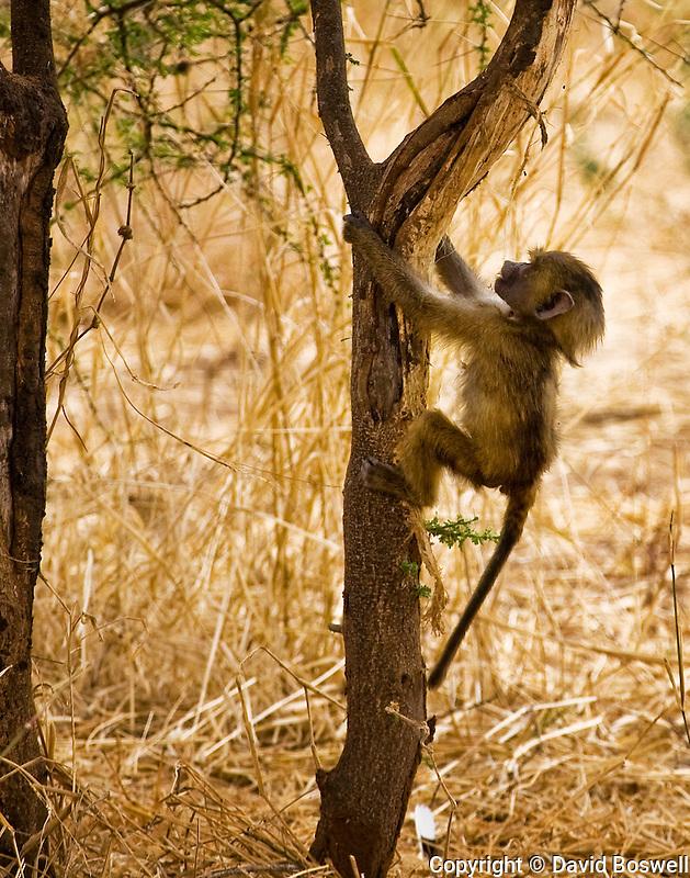 A juvenile olive baboon, photographed at Tarangire National Park in northen Tanzania