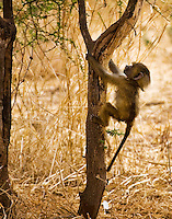 A juvenile olive baboon, photographed at Tarangire National Park in northen Tanzania